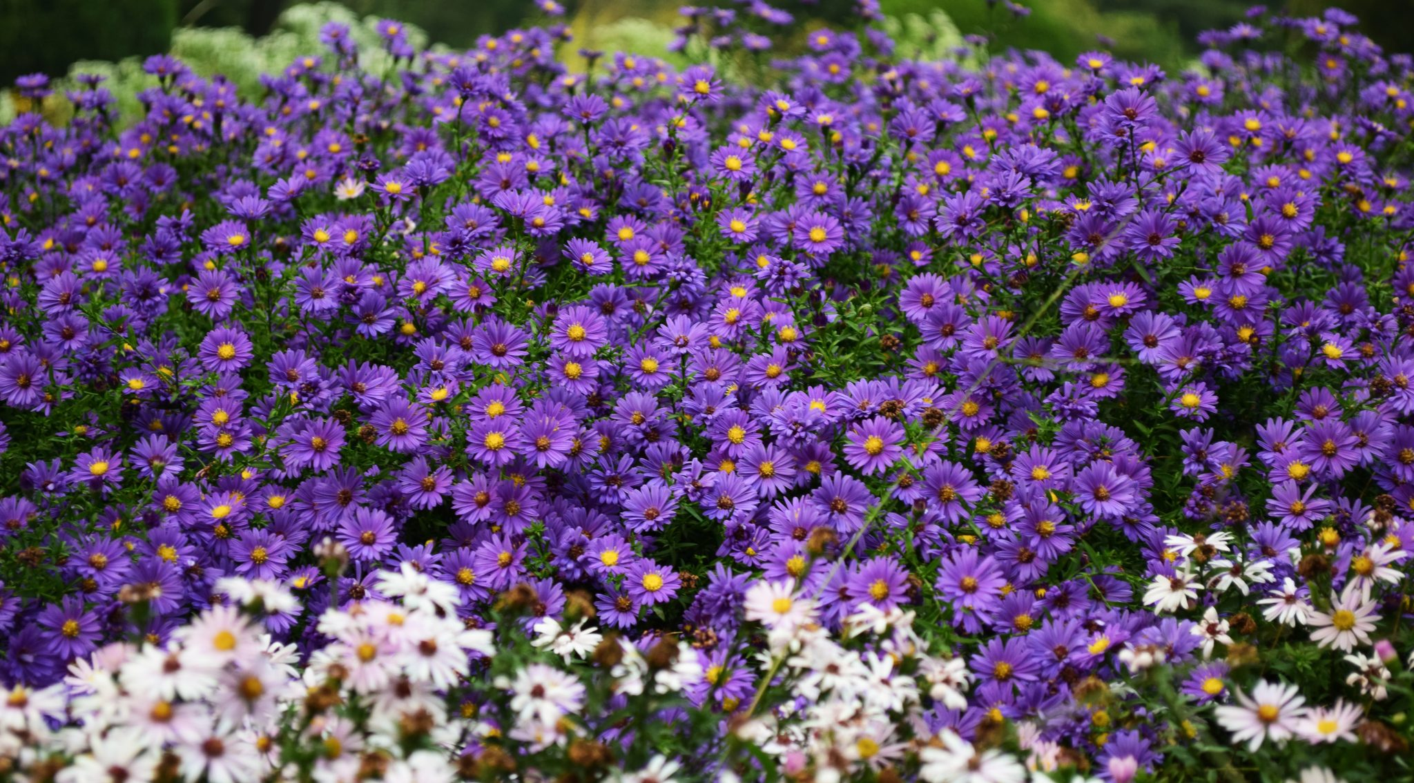 bed of purple flowers home improvement